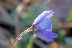 Anemone που καλύπτεται μπλε με τις πτώσεις νερού Στοκ Εικόνες