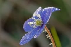 Anemone που καλύπτεται μπλε με τις πτώσεις νερού Στοκ Φωτογραφία