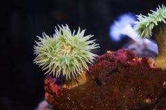 Anemone πράσινης θάλασσας ασβέστη Στοκ εικόνα με δικαίωμα ελεύθερης χρήσης