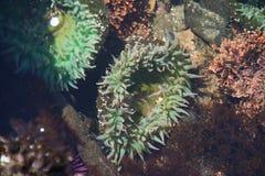 Anemone πράσινης θάλασσας νέου Στοκ φωτογραφίες με δικαίωμα ελεύθερης χρήσης