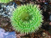 anemone πράσινο στοκ φωτογραφία