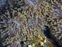Anemone ροής Στοκ Εικόνες