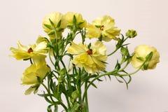 Anemone σε κίτρινο Στοκ Φωτογραφία