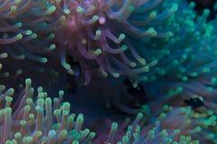 Anemone σε μια κοραλλιογενή ύφαλο Στοκ φωτογραφία με δικαίωμα ελεύθερης χρήσης