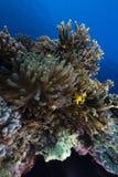 Anemone στα τροπικά νερά της Ερυθράς Θάλασσας. Στοκ εικόνες με δικαίωμα ελεύθερης χρήσης
