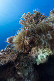 Anemone στα τροπικά νερά της Ερυθράς Θάλασσας. Στοκ Φωτογραφία