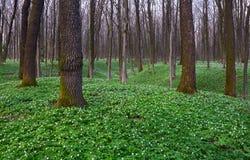 Anemone στην πράσινη χλόη και δέντρα γύρω από το Στοκ Φωτογραφίες