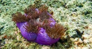 Anemone στην Ταϊλάνδη 1 Στοκ Εικόνες