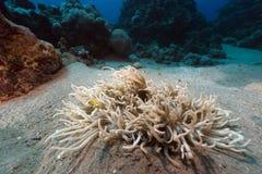 Anemone στη Ερυθρά Θάλασσα Στοκ φωτογραφία με δικαίωμα ελεύθερης χρήσης