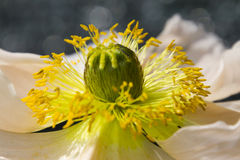 Anemone στον κήπο Στοκ φωτογραφίες με δικαίωμα ελεύθερης χρήσης
