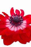 Anemone στον κήπο Στοκ εικόνες με δικαίωμα ελεύθερης χρήσης