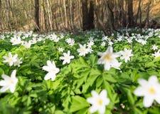 Anemone στο δάσος Στοκ εικόνες με δικαίωμα ελεύθερης χρήσης