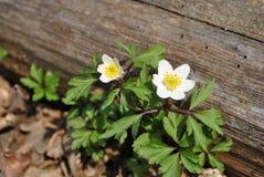 Anemone στο ξύλο Στοκ Φωτογραφίες