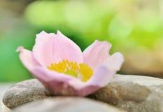 Anemone στο χαλίκι Στοκ Εικόνες
