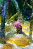 Anemone σωλήνων ή anemone κυλίνδρων, membranaceus Cerianthus Στοκ φωτογραφία με δικαίωμα ελεύθερης χρήσης