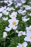 Anemone - τα άσπρα λουλούδια άνοιξη αυξάνονται στον κήπο Στοκ φωτογραφία με δικαίωμα ελεύθερης χρήσης