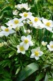 Anemone - τα άσπρα λουλούδια άνοιξη αυξάνονται στον κήπο Στοκ Φωτογραφίες