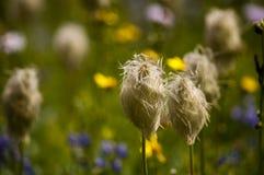 anemone δυτικό Στοκ φωτογραφία με δικαίωμα ελεύθερης χρήσης