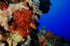 anemone φθορισμού Στοκ φωτογραφία με δικαίωμα ελεύθερης χρήσης
