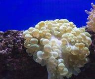 Anemone φυσαλίδων στη Ερυθρά Θάλασσα Στοκ Φωτογραφία