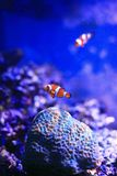 Anemone-ψάρια Στοκ εικόνες με δικαίωμα ελεύθερης χρήσης