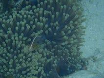 Anemone ψαριών και θάλασσας Στοκ εικόνες με δικαίωμα ελεύθερης χρήσης
