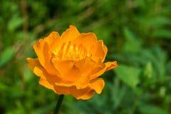 Anemone - όμορφο κίτρινο λουλούδι Στοκ Εικόνα