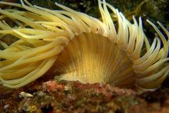 anemone ‹â€ ‹θάλασσας †Στοκ εικόνα με δικαίωμα ελεύθερης χρήσης