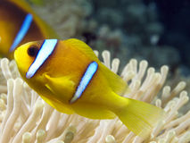 Anemone. Fish in the red sea Stock Photos