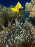 Anemone. Fish in the red sea Stock Photography