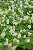 Anemone Royalty Free Stock Images