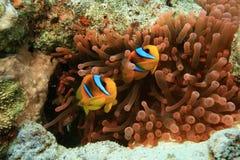 anemone Στοκ Φωτογραφία