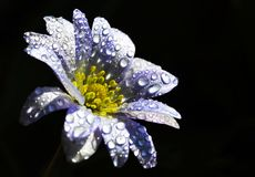 Anemone. After the rain by sun Stock Photography
