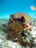 Anemone Stock Photos