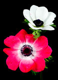 Anemone Stockfotos