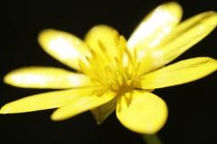 Anemone Στοκ εικόνες με δικαίωμα ελεύθερης χρήσης