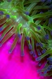Anemone. Bright green and blue anemone against a vivid pink background Stock Photo