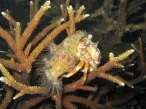 ερημίτης καβουριών anemone Στοκ εικόνα με δικαίωμα ελεύθερης χρήσης