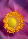 Anemone Lizenzfreies Stockbild