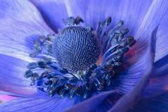 Anemone Στοκ Εικόνα