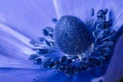 Anemone Fotografia Stock Libera da Diritti