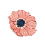anemone Imagens de Stock