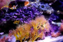 anemone Imagens de Stock Royalty Free