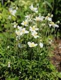 anemone Stockbild