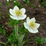 anemone Fotografia de Stock Royalty Free