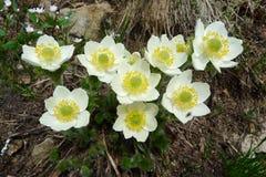 anemone Immagine Stock