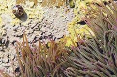 anemone Lizenzfreie Stockbilder