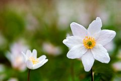 Anemone Royalty Free Stock Photos