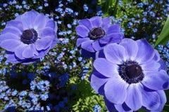 Anemone Στοκ Φωτογραφίες