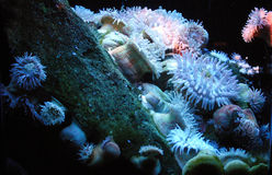 Anemone. Beautiful sea anemone (predatory marine creatures), in an aquarium stock photography